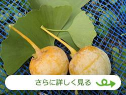 銀杏(かめい農園)